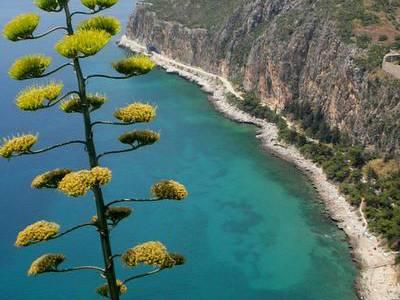 Kwitnąca agawa /Grecja /Nafplio