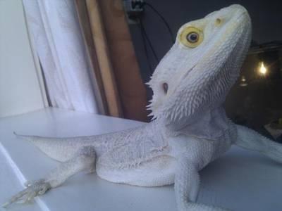 Agama biała2