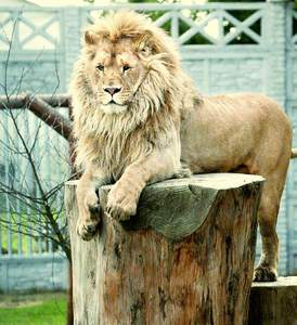 lew głogów młp