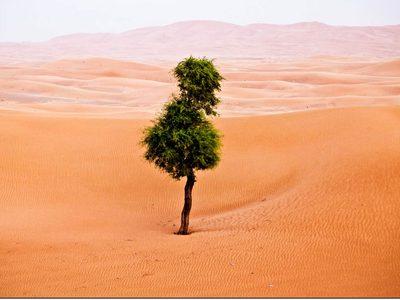 Samotne drzewo na pustyni w Zjednoczonych Emiratach Arabskich