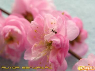 Mrówka na płatkach kwiatka