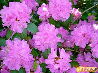kwiat rozanecznika