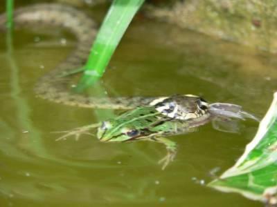 wąż je żabe