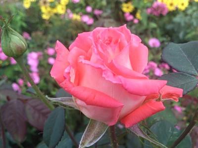 moja róża 1