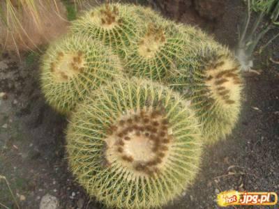 ach te kaktusy na kanarach