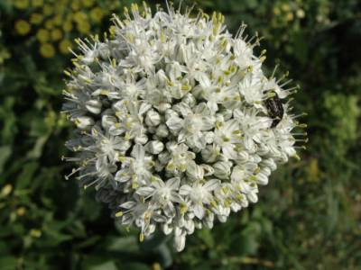 Kwiat cebuli